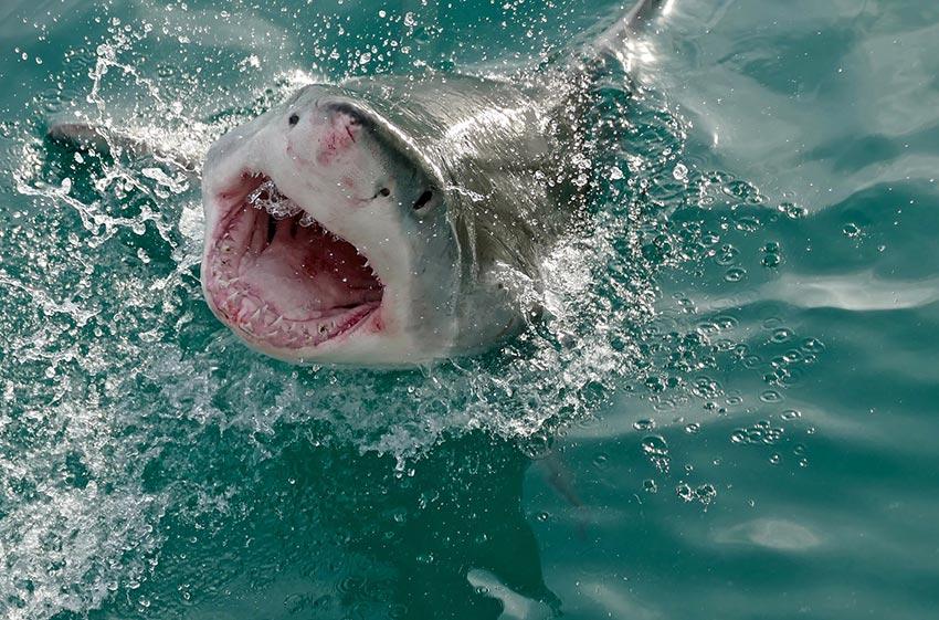 белая акула фото видео статья 5