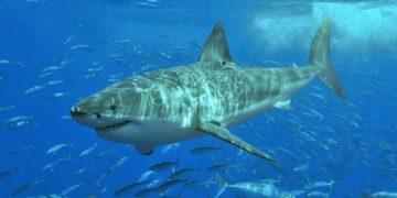белая акула фото видео статья