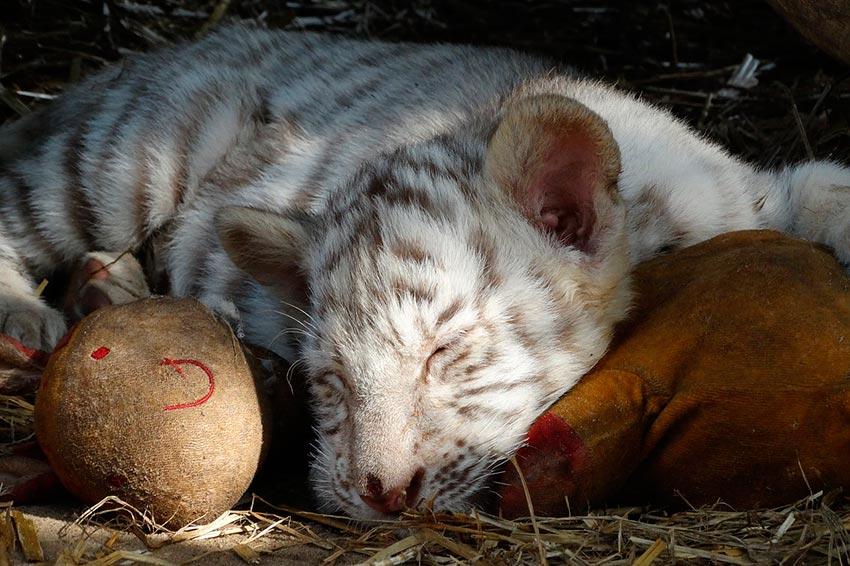 белый тигр бенгальский 1