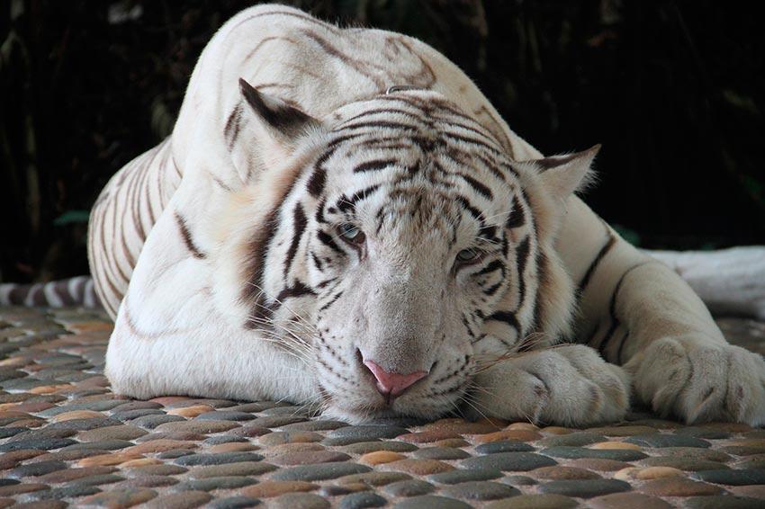 белый тигр бенгальский 2