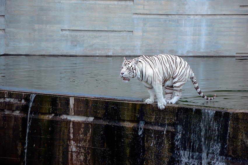 белый тигр бенгальский 4