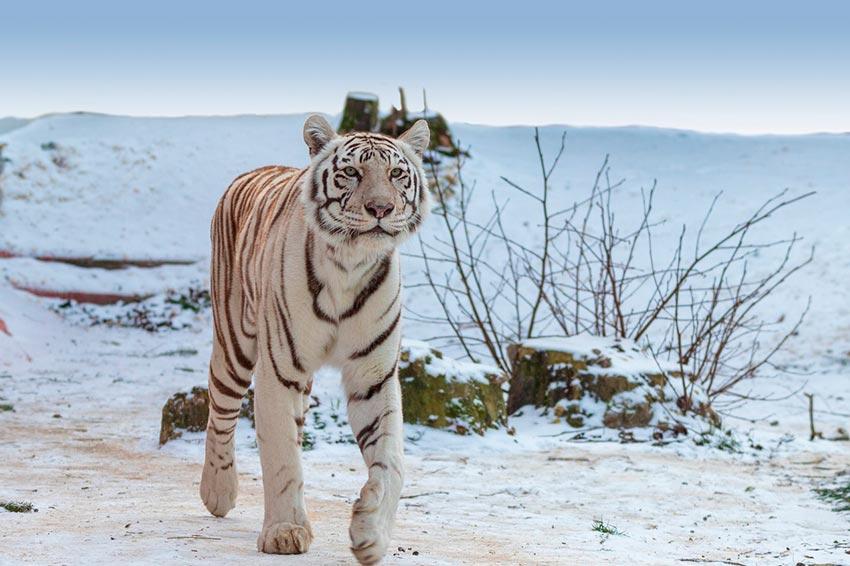 белый тигр бенгальский 6