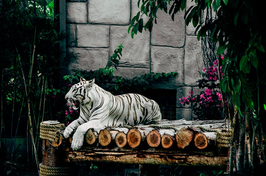 белый тигр бенгальский 7