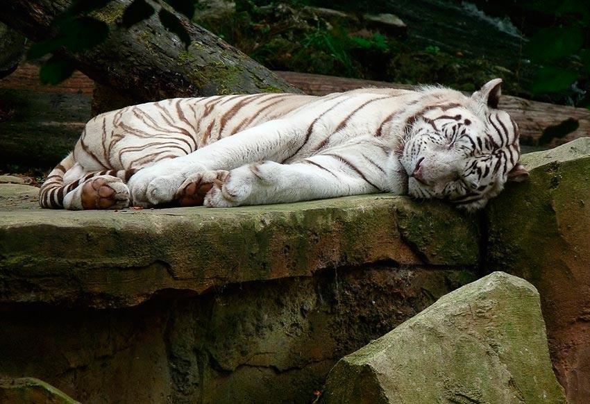 белый тигр бенгальский 8