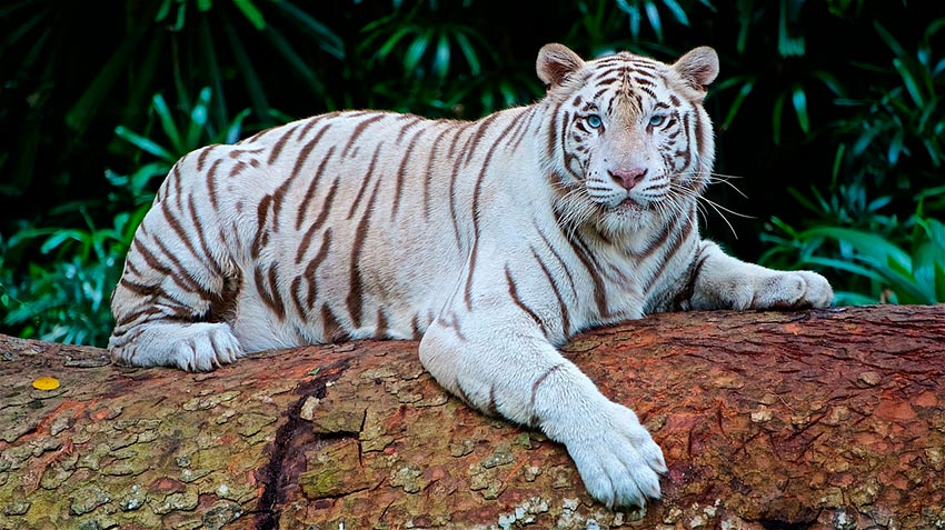 белый тигр бенгальский 9