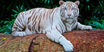 белый тигр бенгальский